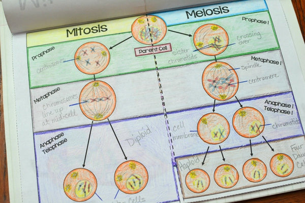 Mitosis and meiosis diagram pdf